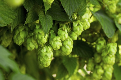 A bunch of green hops on a tree